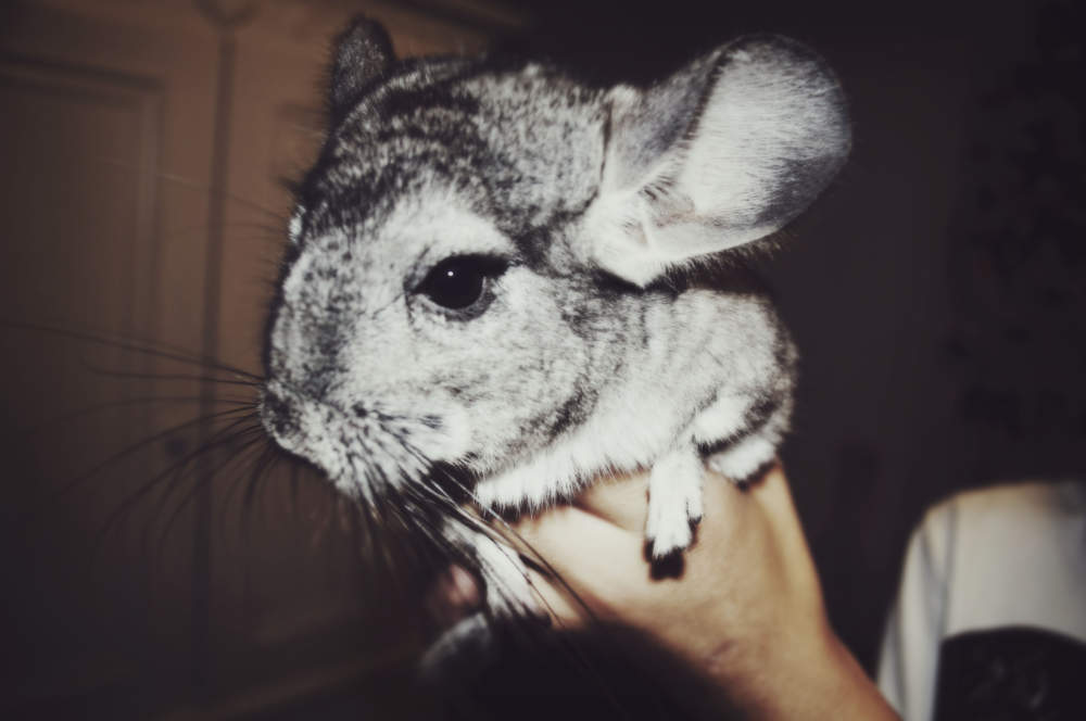 fluffy-chinchilla
